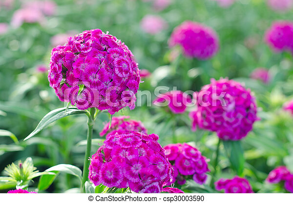 Dianthus chinensis (China rosa, dulce flor William) - csp30003590