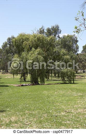 Willow Tree - csp0477917