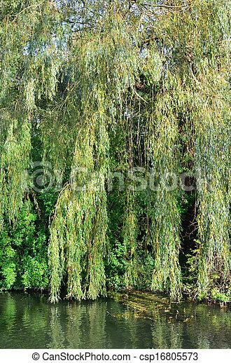 Willow tree - csp16805573