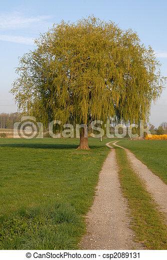 willow tree - csp2089131