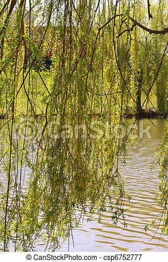 willow tree - csp6752777