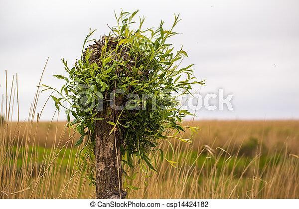 willow tree - csp14424182