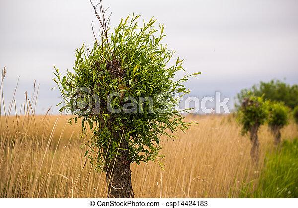 willow tree - csp14424183