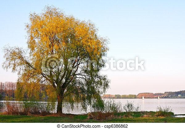 Willow tree - csp6386862