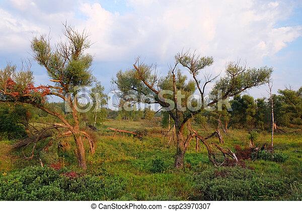 willow tree - csp23970307