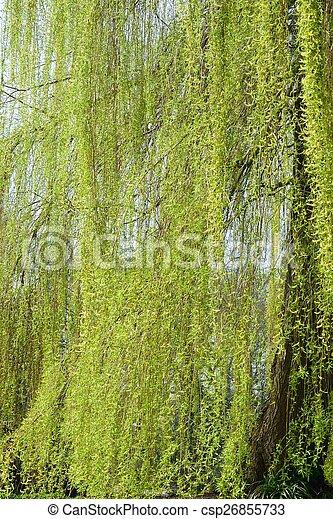 Willow tree - csp26855733