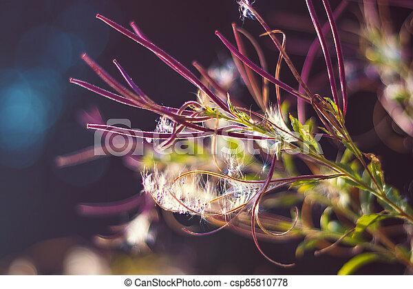 willowherb, smallflower, chlupatý, epilobium, bílý, -, parviflorum, willowherb - csp85810778