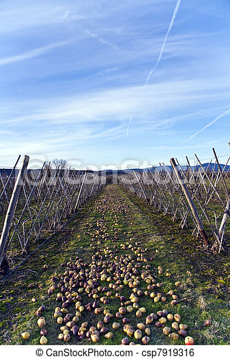 windfall fruits on the meadow at a fruit farm - csp7919316
