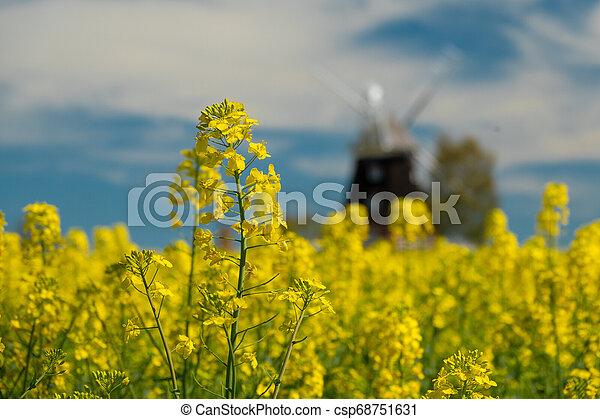 windmühle, feld, altes , steht, canola - csp68751631