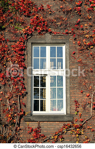 windows and brick wall with red ivy - csp16432656