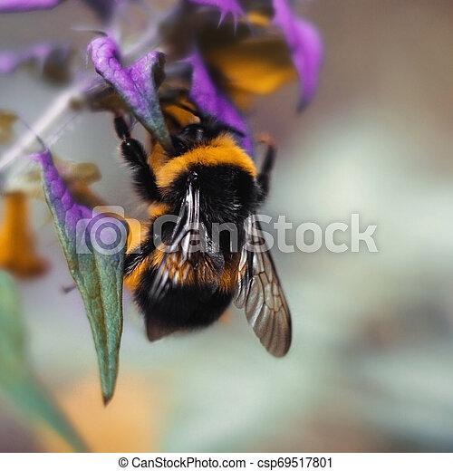 wings., fiore blu, mucca, seduta, viola, grande, wheat., bombo, zebrato, giallo, sfocato, su, fondo., nero, macro, textured, chiudere - csp69517801