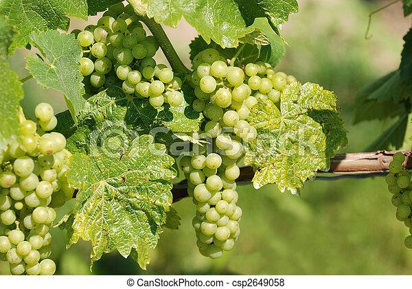 winogrono - csp2649058