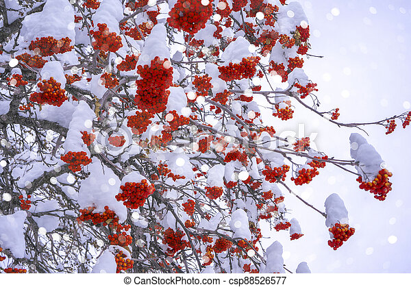 Winter ashberry under the snow. Groups of bright red berries, mountain ash. Snow light boken background - csp88526577