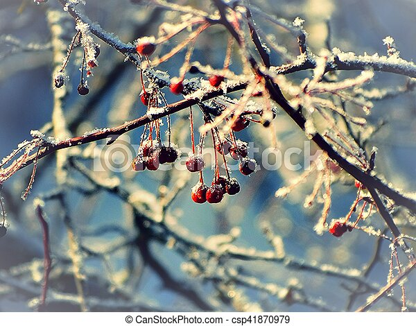Winter Berries In The Frost