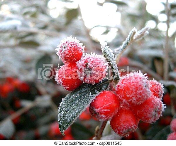 winter berry - csp0011545