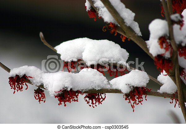 winter blossoms - csp0303545