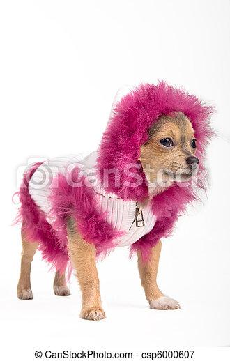 Winter Chihuahua - csp6000607