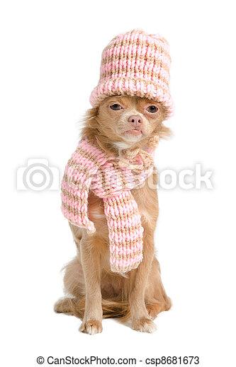 Winter chihuahua - csp8681673