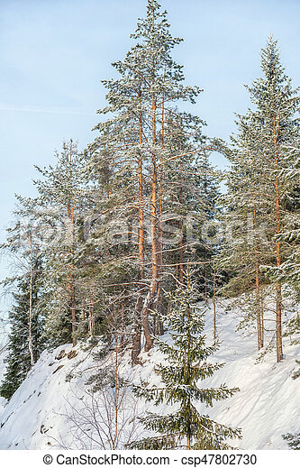 Nature in winter. Winter forest landscape with snow in cold weather Karelia, Russia.