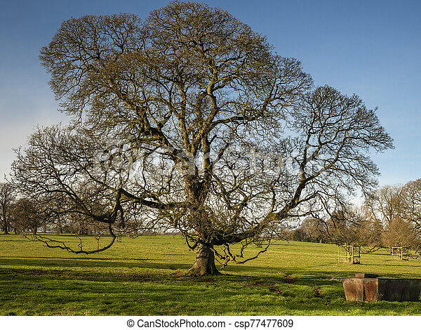 Winter oak tree in a Yorkshire park, England - csp77477609