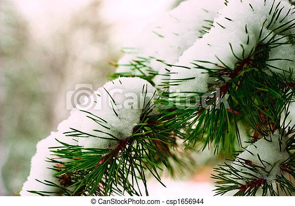 Winter pine branch in snow - csp1656944