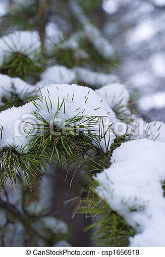Winter pine branch in snow - csp1656919