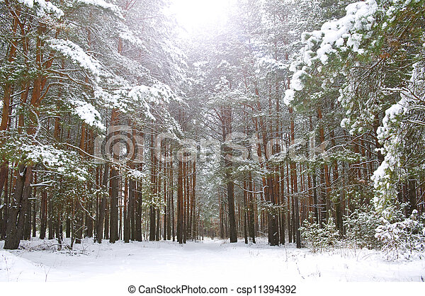winter pine forest in the snow - csp11394392