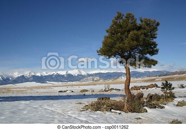 Winter Pine - csp0011262