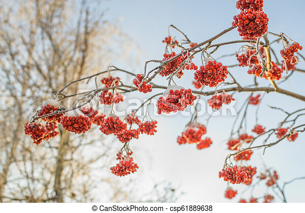 Winter Red Berries New Year In The Winter City Of Siberia