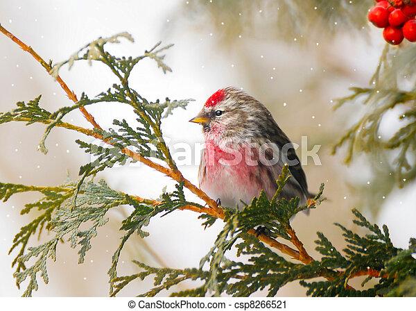 winter., samiec, wspólny, redpoll - csp8266521