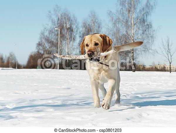 winter, stock, labrador - csp3801203