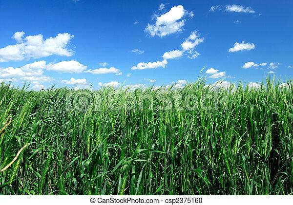 Winter Wheat - csp2375160