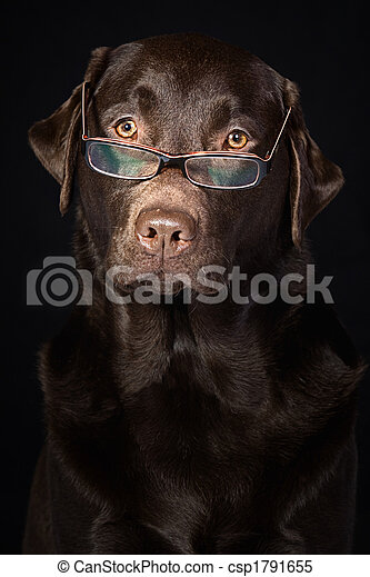 Wise and Intelligent Looking Chocolate Labrador - csp1791655