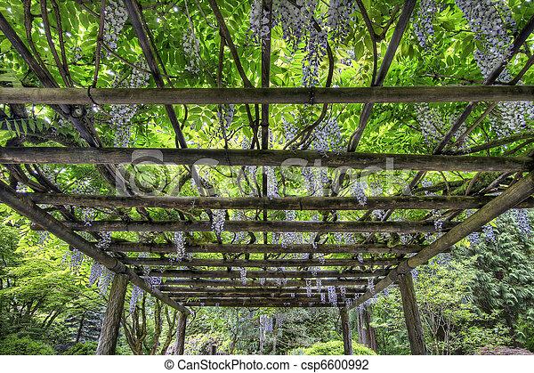 wisteria, fleur, jardin, portland, japonaise. wisteria, pergola