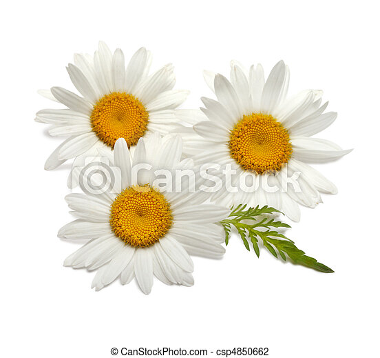 witte , chamomiles - csp4850662