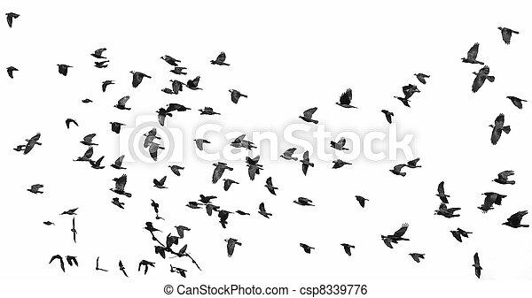 witte , vrijstaand, vlucht, vogels - csp8339776