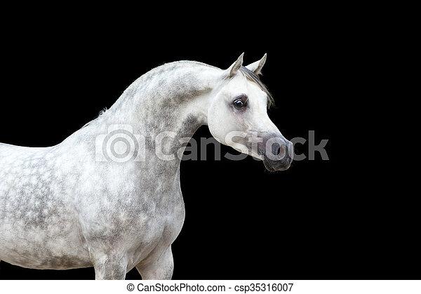 witte , zwart paard, vrijstaand - csp35316007