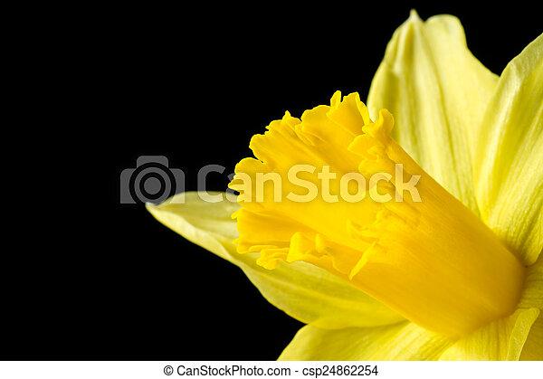 wizerunek, żonkil, do góry, żółty, czarnoskóry, zamknięcie - csp24862254