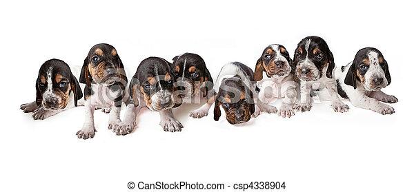 woche, basset, altes , abfall, 3, hundebabys, jagdhund - csp4338904