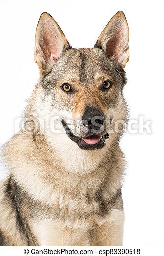 Wolf dog - csp83390518