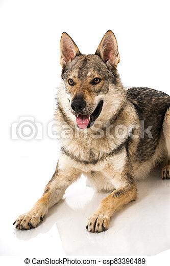 Wolf dog - csp83390489