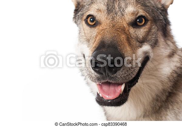 Wolf dog - csp83390468