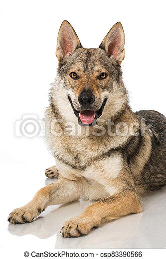 Wolf dog - csp83390566