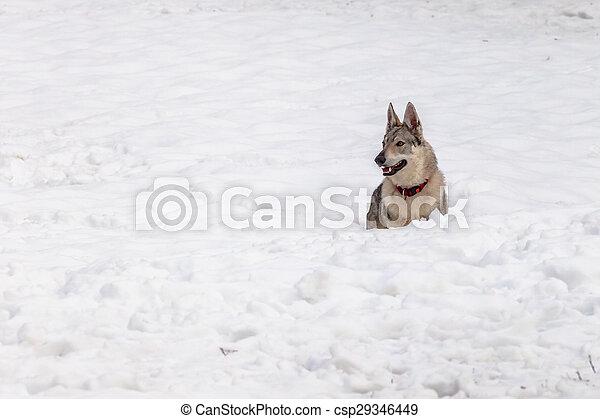 Wolf dog - csp29346449