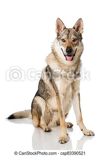 Wolf dog - csp83390521