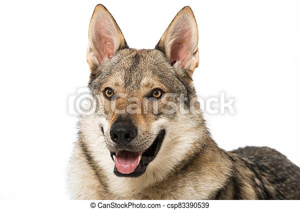 Wolf dog - csp83390539