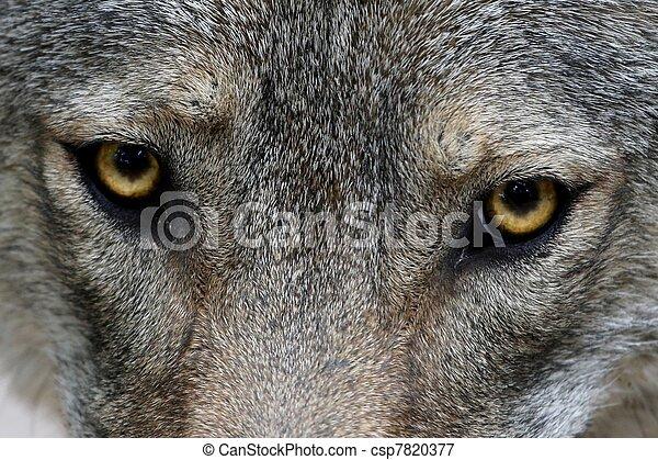 Wolf Eyes - csp7820377