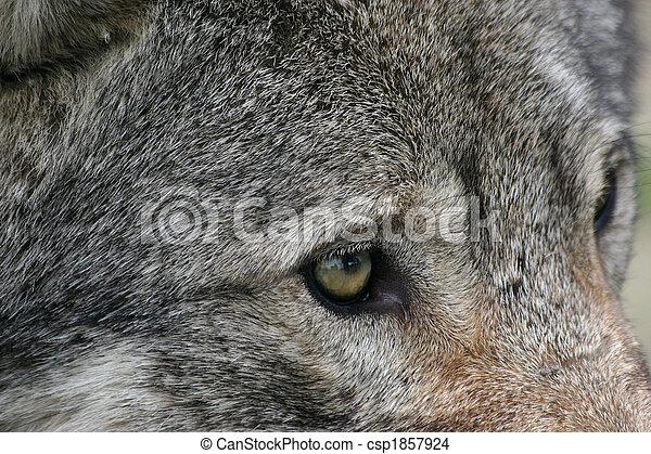 wolf eyes - csp1857924