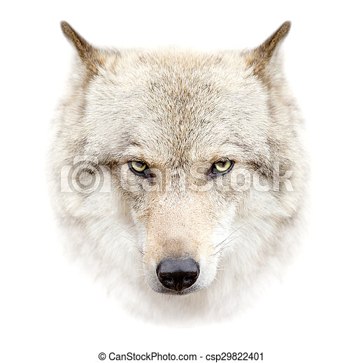 wolf face on white background - csp29822401