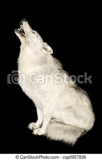 Wolf howling isolated over black - csp0957836